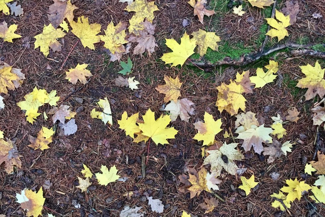 Liście klonu jesienią - inspiracja